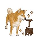さすが!柴犬(よく使う言葉編)(個別スタンプ:01)