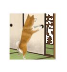 さすが!柴犬(よく使う言葉編)(個別スタンプ:11)