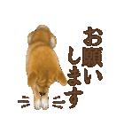さすが!柴犬(よく使う言葉編)(個別スタンプ:26)