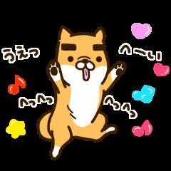 まゆげのある柴犬。