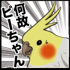 オカメインコ ピーちゃん